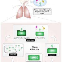 Behandling af biofilminfektioner med bakteriofager
